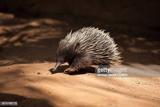 Echidna On Field During Sunny Day