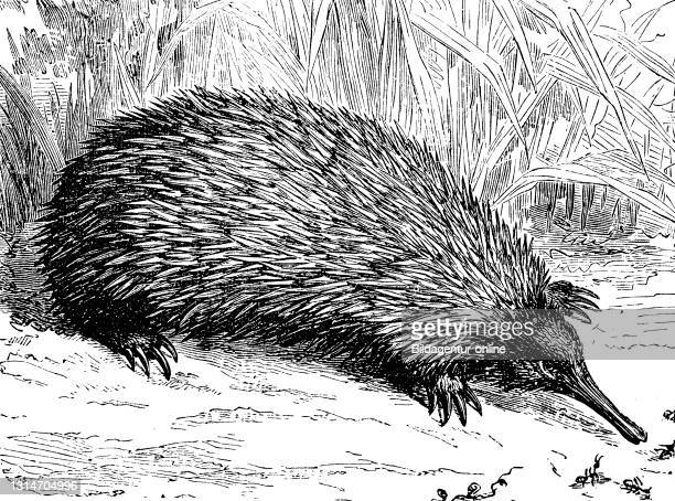 Echidna, short echidna, spiny anteater, Tachyglossus aculeatus, illustration from 1885 / Ameisenigel, Kurzschnabeligel, Tachyglossus aculeatus,...