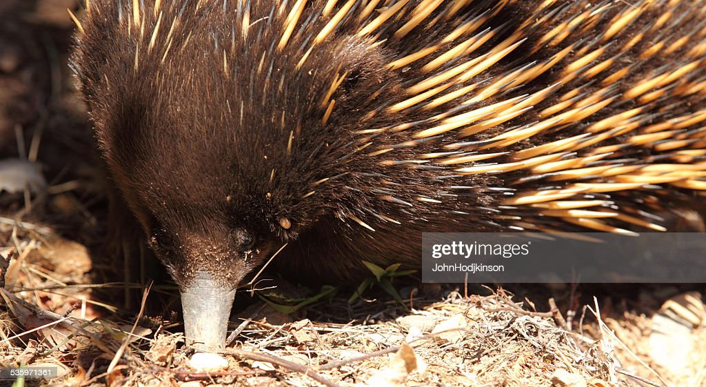 Echidna, spiny anteater, Australian wild : Stock Photo