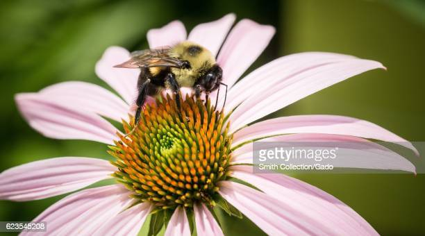Echinacea and bee gather pollen in the People's Garden, Washington, D.C. Image courtesy Lance Cheung/USDA, June 22, 2016. .