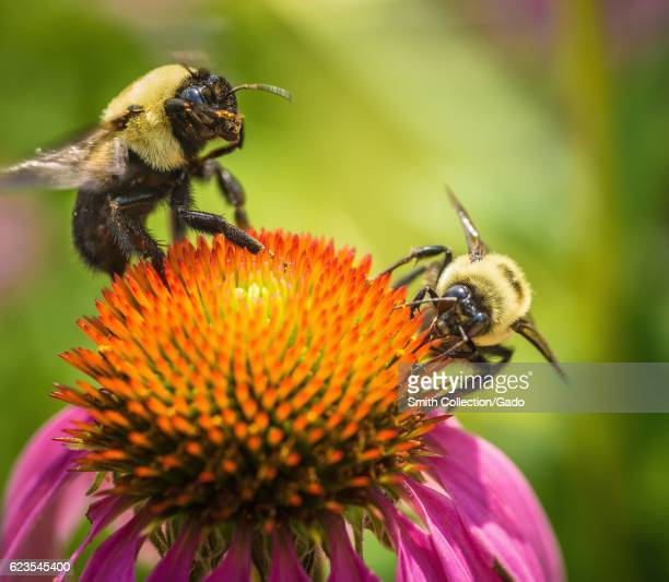Echinacea and bee gather pollen in the People's Garden Washington DC Image courtesy Lance Cheung/USDA June 22 2016