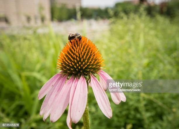 Echinacea and bee gathering pollen in the People's Garden Washington DC June 22 2016 Image courtesy Lance Cheung/USDA