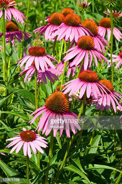 Echinacea Echinacea Purpurea flowers in bloom in wild