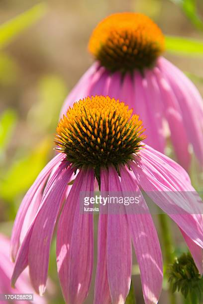 echinacea flowers - lutavia stock pictures, royalty-free photos & images