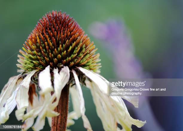 echinacea in autumn - gregoria gregoriou crowe fine art and creative photography. fotografías e imágenes de stock