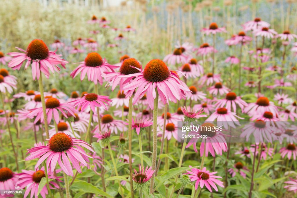 Echinacea Meadow : Stock Photo