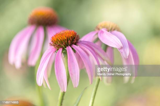 echinacea - mandy pritty stock pictures, royalty-free photos & images
