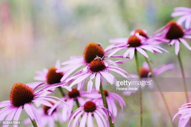 Echinacea purpurea (Eastern Purple Coneflower)