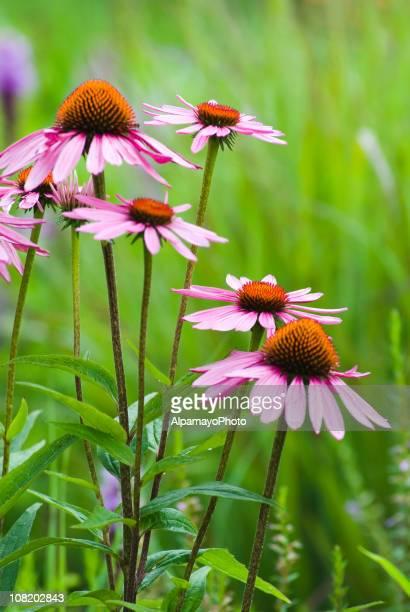 Sonnenhut-Pflanzengattung purpurea-VI.