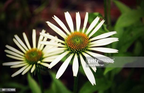 echinacea purpurea 'white swan' - daisy dora bildbanksfoton och bilder