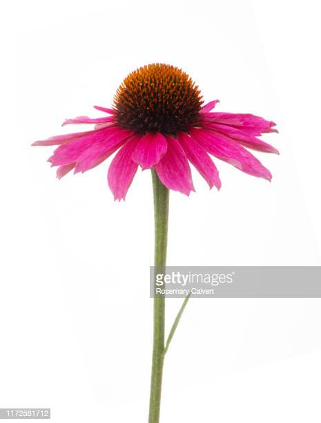 echinacea 'sunseekers tanz magenta', on white. - single object stock pictures, royalty-free photos & images