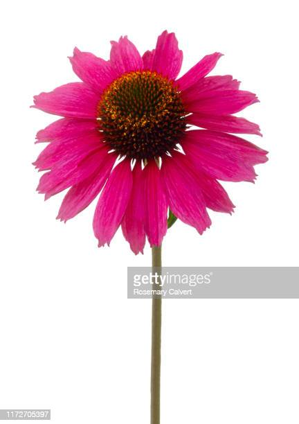 echinacea 'sunseekers tanz magenta' on white. - single object stock pictures, royalty-free photos & images