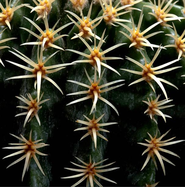 Echinocactus grusonii cv. Intermedius (golden barrel cactus, golden ball, mother-in-law's cushion)
