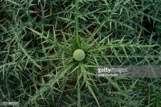 echinops spinosissimus, thorny-headed globe thistle - espina fotografías e imágenes de stock