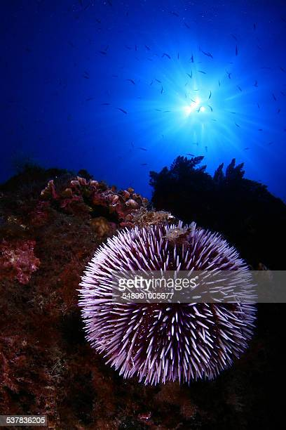 echinus - sea urchin stock pictures, royalty-free photos & images