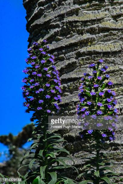 echium candicans - howard pugh stock pictures, royalty-free photos & images