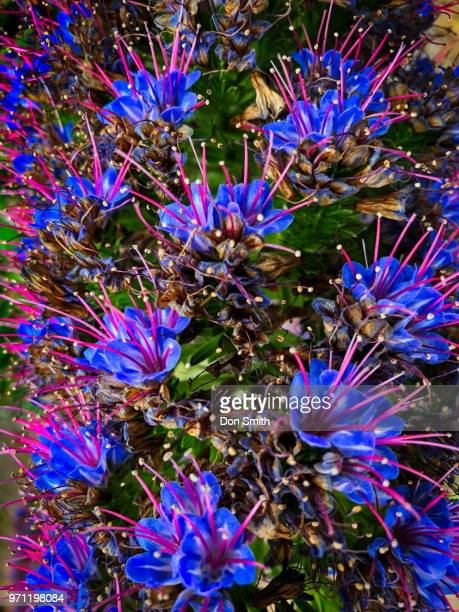 echium closeup - don smith stock photos and pictures