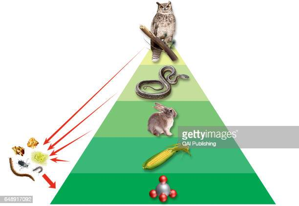 Ecological pyramid Representation of the distribution of organisms in an ecosystem organisms that make their own food are at the base and each higher...