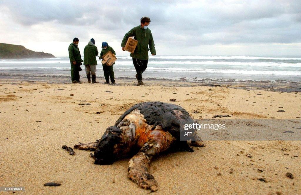 SPAIN-OIL SLICK-SEA TURTLE : News Photo