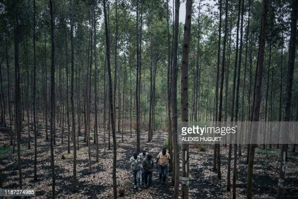 Ecomakala project managers visit a eucalyptus plantation partly intended to produce charcoal in northeastern Democratic Republic of Congo on...