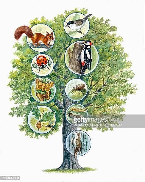 Ecosystem Oak Marsh Tit Squirrel Great Spotted Woodpecker Aphid Ladybird Weevil Moth Grub Gall wasp Shorttoed Treecreeper illustration