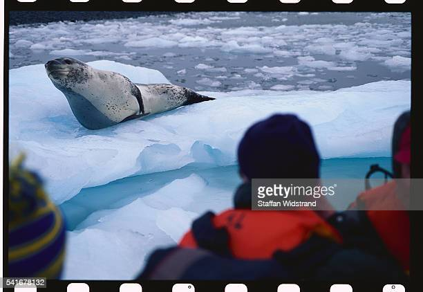Ecotourists Observing Leopard Seal on Ice