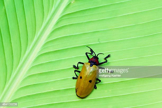 Ecuador Amazon Basin Near Coca Rain Forest Beetle On Heliconia Leaf
