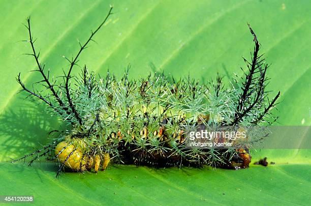 Ecuador Amazon Basin Near Coca Rain Forest Caterpillar