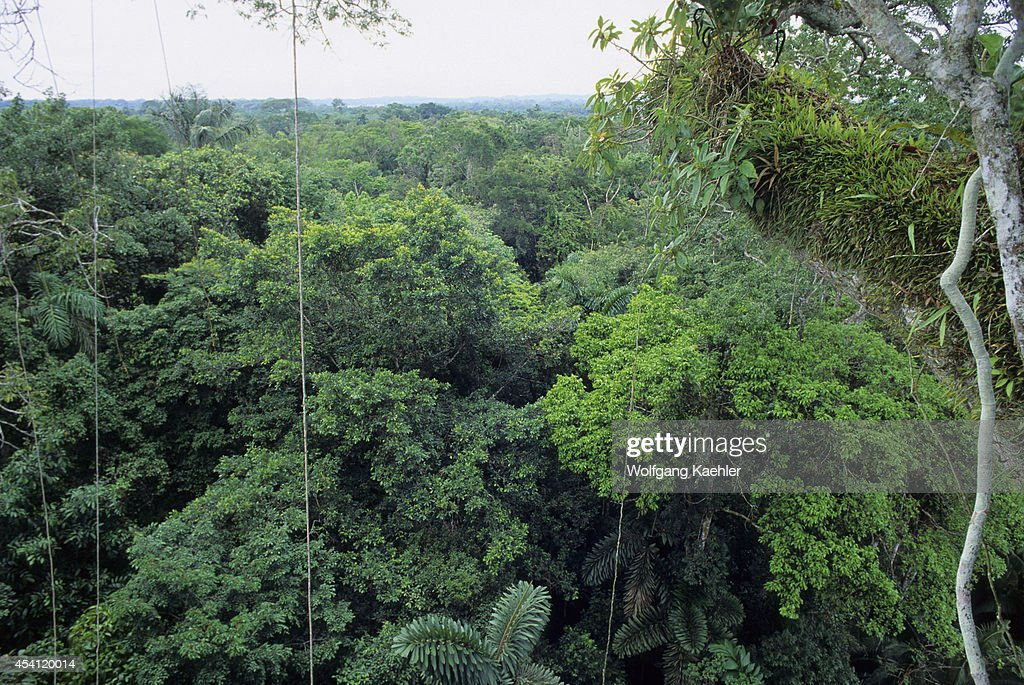Ecuador Amazon Basin Near Coca Rain Forest Upper Canopy Epiphytes Growing & Ecuador Amazon Basin Near Coca Rain Forest Upper Canopy ...