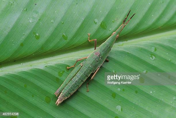 Ecuador Amazon Basin Rio Napo Rainforest Grasshopper