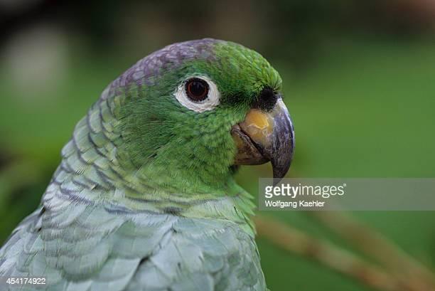 Ecuador Amazon Basin Rio Napo Rainforest Mealy Parrot Closeup