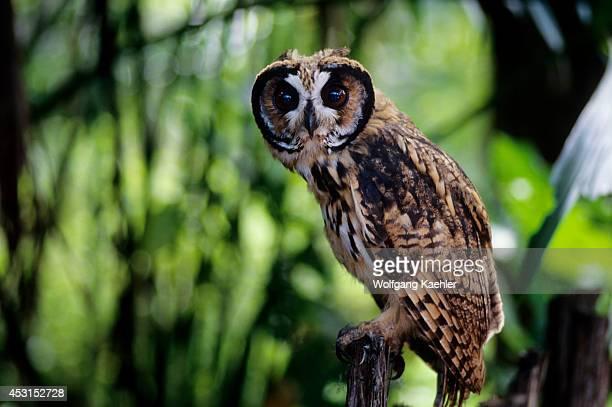 Ecuador Amazon Basin Rio Napo Rainforest Striped Owl Pseudoscops clamator