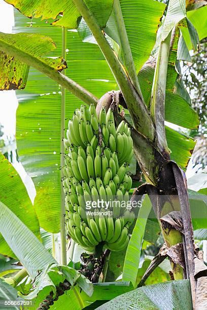 Ecuador, Amazonas River Region, banana plant