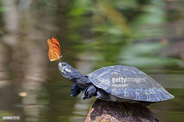 ecuador, amazonas river region, julia butterfly on nose of yellow-spotted river turtle - river amazon stock pictures, royalty-free photos & images
