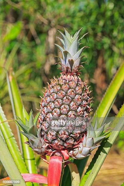 Ecuador, Amazonas River Region, pineapple on field