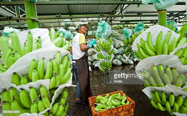Ecuador banana plant in Guyaquil belonging to the multinational company 'Dole' with workers in the fields 2010/03