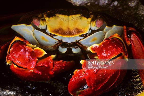 Ecuador Galapagos Island Bartholome Island Closeup Of Sallylightfoot Crab