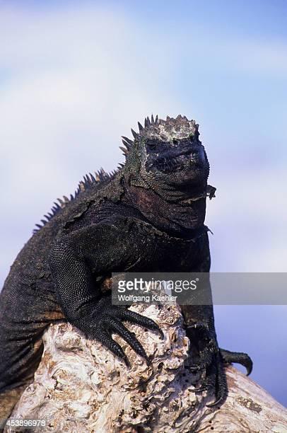 Ecuador Galapagos Island Fernandina Islands Marine Iguana On Log Closeup