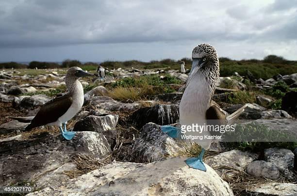 Ecuador Galapagos Island Hood Island Bluefooted Boobies Courting Behavior Dancing