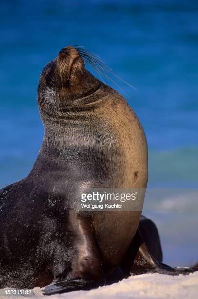 Ecuador Galapagos Island Hood Island Gardner Bay Galapagos Sea Lion