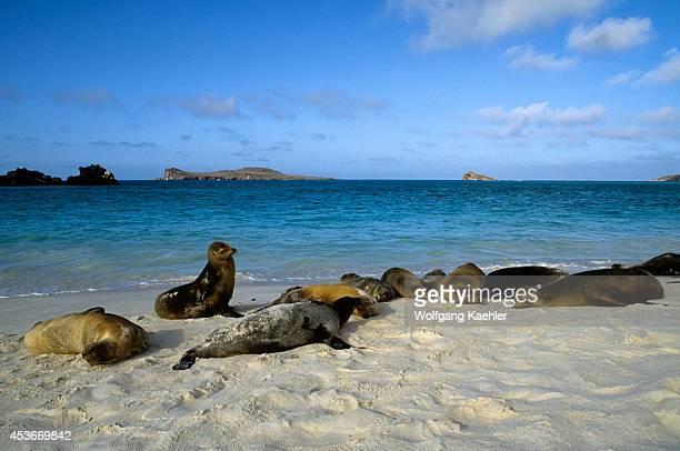 Ecuador Galapagos Island Hood Island Gardner Bay Galapagos Sea Lions On Beach