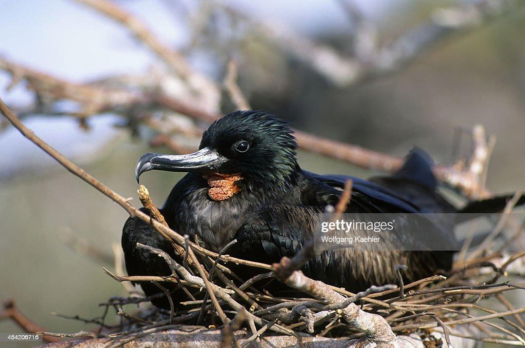 Ecuador, Galapagos Island, Tower (genovesa) Island, Male Frigate Bird Incubating On Nest.