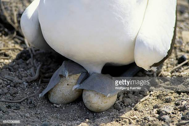 Ecuador Galapagos Island Tower Island Nasca Booby Incubating With Webbed Feet