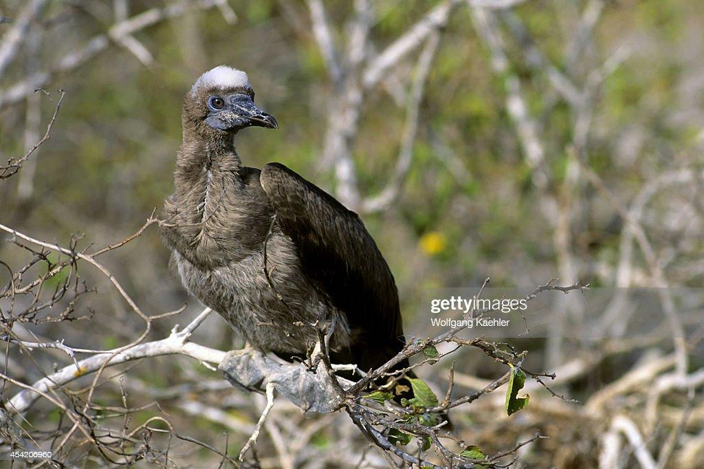 Ecuador, Galapagos Island, Tower (genovesa) Island, Red-footed Booby Fledgling In Tree.