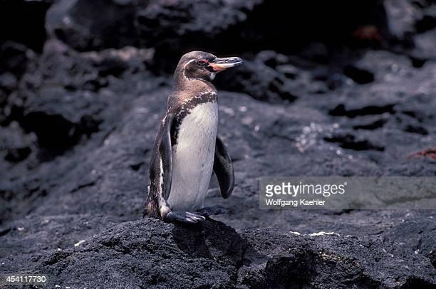 Ecuador, Galapagos Islands Bartholome Island, Galapagos Penguin.