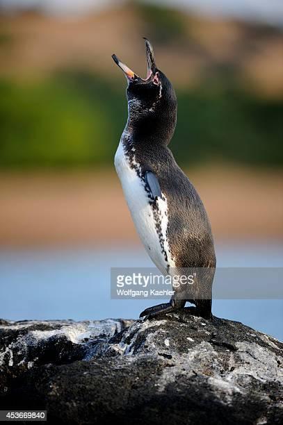 Ecuador, Galapagos Islands, Bartolome Island, Galapagos Penguin Calling.