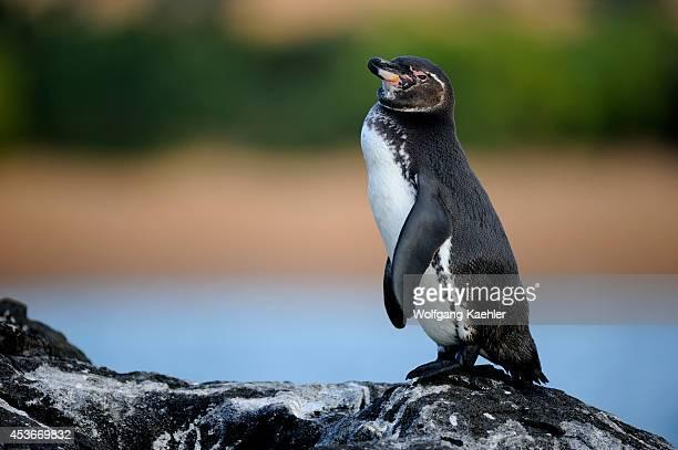Ecuador, Galapagos Islands, Bartolome Island, Galapagos Penguin.