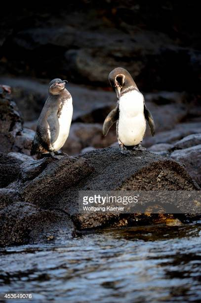Ecuador, Galapagos Islands, Bartolome Island, Galapagos Penguins.