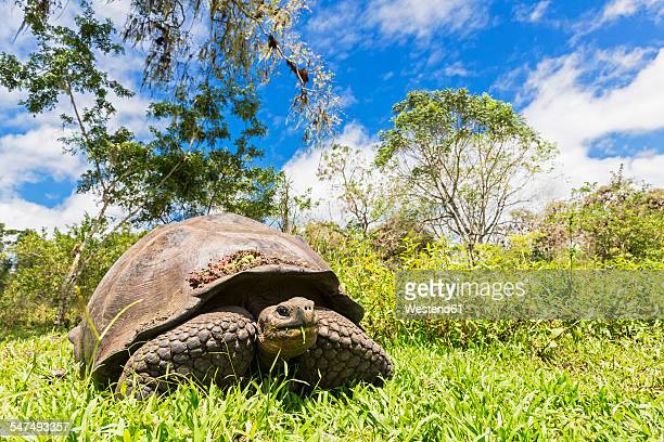 ecuador, galapagos islands, eating galapagos tortoise on a meadow - santa cruz island galapagos islands stock pictures, royalty-free photos & images
