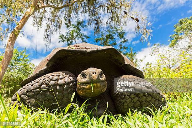 ecuador, galapagos islands, eating galapagos tortoise - santa cruz island galapagos islands stock pictures, royalty-free photos & images